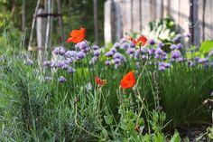 Sibirisk vallmo och blommande gräslök i köksträdgården. Foto: Erika Åberg