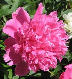 Peony beauty at Saaremaa Peony, Countryside, Rose, Nature, Flowers, Plants, Beauty, Beleza, Naturaleza