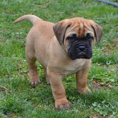 Find your dream puppy of the right dog breed at Bullmastiff dogs for sale in United States, Pennsylvania, Lancaster. You can also check our dog directory for more different dog breeds puppies for sale. Bull Mastiff Puppies, English Mastiff Puppies, Collie Puppies, Labrador Dogs, Bullmastiff Puppies For Sale, Rottweiler Puppies, Dogs And Puppies, Beagle Puppy, Doggies