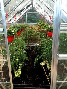 Wnętrze szklarni z dojrzewającymi pomidorami