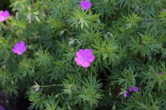 12 Best Companion Plants for Hostas - Longfield Gardens Shade Garden Plants, Hosta Plants, Shade Perennials, Potted Plants, Spring Flowering Bulbs, Spring Bulbs, Perennial Geranium, Ground Cover Plants, Woodland Garden