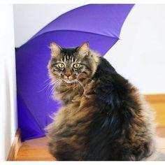 8月30日(火)  なんですか? って顔。 . らいちは今や、 ほとんど悪さをしない 良いニャン(ФωФ)なので、 心配はないのですが(笑) 自分の縄張りに いつもないものが出現したので 見張っていた模様😁 . 台風の被害が最小限で すみますように🙏🙏🙏 はやく過ぎ去ってほしい ものですね。 . #猫 #猫部 #暮らし #暮らしを楽しむ #cat #catstagram #おうち猫 #instagramjapan #IGersJP #きじねこ