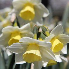 Narcissus Sail Boat