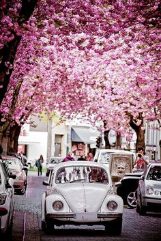 The pink flower clusters make the white car more pure.