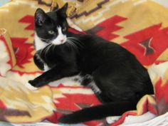 Mooshu is an adoptable Tuxedo Cat in North Haven, CT. Mooshu is such a cute, little guy. He is only 8 months old and is a total love! He is as friendly as can be! He will greet you when you walk into ...