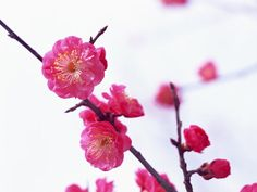 Ume : Japanese Apricot ( English translation) It is flower of February in Japan. The meaning of flower is… 高潔(Nobility) , 上品(Elegant), 忍耐( patience ) Japanese Plants, Japanese Nature, Japanese Flowers, Apricot Tree, Plum Tree, Japan Info, Mother Nature Tattoos, Red Plum, Plum Flowers