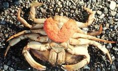 how do dungeness crabs have babies - Google Search