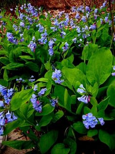 Virginia bluebells, Mertensia virginica, were everywhere just like they are in my own garden where they seed prolifically.
