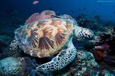 young green sea turtle photographed at Sipadan island