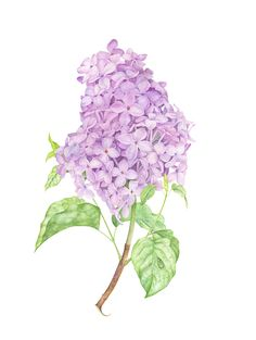 Lilac botanical illustration with watercolor                                                                                                                                                                                 More