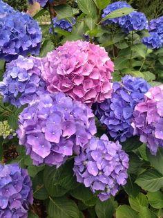 Hortensia Hydrangea, Hydrangea Colors, Hydrangea Garden, Hydrangea Flower, Summer Flowers, Purple Flowers, Beautiful Flowers, Flower Images, Flower Art