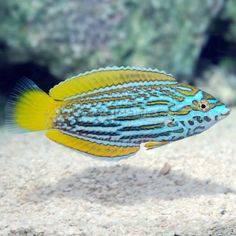 First Anampses lennardi wrasse from LiveAquaria goes up for sale tonight News Reef Builders Saltwater Aquarium Fish, Saltwater Tank, Saltwater Fishing, Freshwater Aquarium, Rare Fish, Exotic Fish, Underwater Creatures, Ocean Creatures, Colorful Fish
