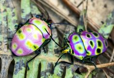 Most psychedelic. Unidentified shield bugs from China