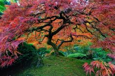 Japanese maple in Portland, Oregon. Japan is known for its gorgeous trees with extremely colorful foilage. Portland, Oregon, is home to one of these Japanese trees. The Japanese tree sticks out among the typical North American flora. Beautiful World, Most Beautiful, Beautiful Places, Beautiful Pictures, Beautiful Gardens, Amazing Places, Trees Beautiful, Gorgeous Gorgeous, Beautiful Roads