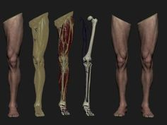 Medical project (Bone, muscles, ligaments and joints bio mechanics) am working on. The main aim is to produce a series of models/images and animation to illustrate the bio mechanic functions for educational purposes. Key Points: -Leg anatomy: An Zbrush Anatomy, Leg Anatomy, Human Anatomy Drawing, Anatomy Study, Reference Manga, Anatomy Reference, Figure Reference, Body Tutorial, Anatomy For Artists
