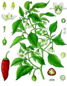 Capsicum annuum. peppers are also part of Solanaceae (the deadly nightshade family); along with potatoes, tomatoes, tomatillos, and eggplants!