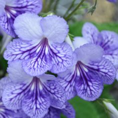 Garden inside with Ladyslippers™ Blue Ice streptocarpus -- she makes the perfect houseplant!