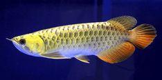 arowana fish 01