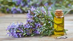 Herbal Oil: Rosemary Oil Benefits and Uses Essential Oils For Fibromyalgia, Essential Oils For Hair, Natural Home Remedies, Herbal Remedies, Lice Remedies, Flea Remedies, Rosemary Oil For Hair, Rosemary Plant, Herbal Oil