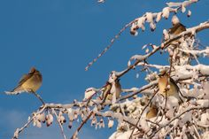 Cedar Wax Wings Stopping for Breakfast in Minneapolis | Minneapolis Photography Photo Blog