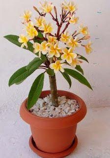Photo du bonsai : Frangipanier (plumeria)