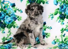 This loving Goldendoodle puppy has a sweet nature about her that will draw you in and melt your heart. This puppy has a nice disposition and is very Cute Little Puppies, Cute Puppies, Puppy Care, Pet Care, Puppies For Sale, Dogs And Puppies, Animals Beautiful, Cute Animals, Goldendoodle Puppy For Sale