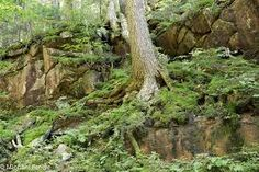 canadian forest underbrush - Google Search