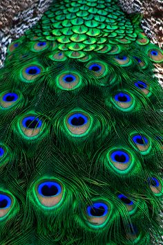 Peacock, Waccatee Zoo, South Carolina | Shawn Jennings Photography ~ The peacock's feathers are symbolic of the all-seeing God.