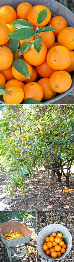 How does orange picking day sound to you? After spotting Heather's photographs , I'm itching for a glorious-orange day right about now. Fruit Picking, Orange Grove, Farm Life, Barns, Lush, Vegetables, Day, Places, Animals