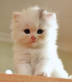 The most adorable thing youll see today - your daily dose of funny cats - cute kittens - pet memes - pets in clothes - kitty breeds - sweet animal pictures - perfect photos for cat moms Fluffy Kittens, Cute Cats And Kittens, Baby Cats, Kittens Cutest, Kittens Playing, Bengal Kittens, Persian Kittens, Pet Cats, Cute Baby Animals