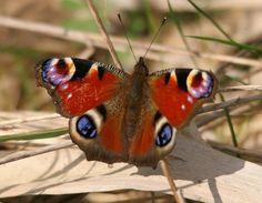 BC (savebutterflies) on Twitter peacock