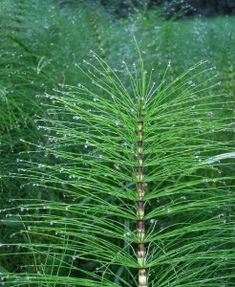 Horsetail (Equisetum arvense) is wild, edible and nutritious food. Identify horsetail via its pictures, habitat, height, flowers and leaves. Healing Herbs, Medicinal Herbs, Horse Tail Plant, Herbs For Hair Growth, Leaf Identification, Comment Planter, Herbs For Health, Weed Killer, Wild Edibles