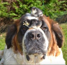 Saint Bernard so gentle the chicks roost on his head.   #giantbreed #puppylove #dog