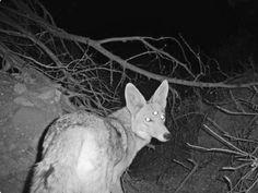 Three eyed coyote