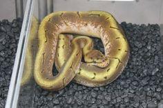 Pytho - Ball - Spider morph Snakes, Reptiles, Spider, Spiders, A Snake, Snake
