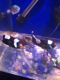 Saddleback clownfish Breeding pair 6 years old Marine Aquarium Fish, Live Aquarium Fish, Marine Fish, Fish For Sale, Fish Stock, Clownfish, Live Fish, Saltwater Fishing, Tropical Fish