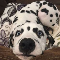 "#dalmatians_of_instagram (@dalmatians_of_instagram) on Instagram: ""Look into my eyes..... you want to give me treats! Credit to @frankie_dalmatian"""