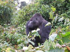 Chimanunka, Eastern lowland gorilla, Kahuzi Biega National Park, Democratic Republic of Congo