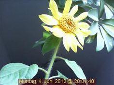 Das winterliche Wetter macht der sensiblen Webcam-Sonnenblume ziemlich zu schaffen!