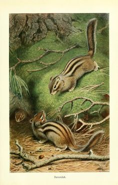 Chipmunk - from Brehms Tierleben (Brehm's Animal Life) - 1911