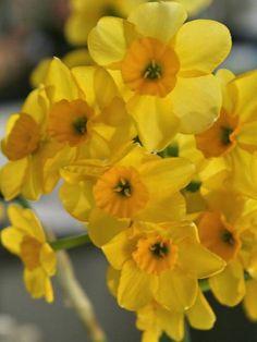 Daffodil Kokopelli available at LivingGardens.com