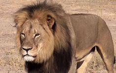 Il leone Cecil - Twitter