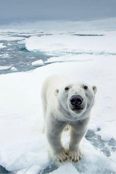 Curious Bear Sunrise on Beaufort Sea * polar bear * Kyriakos Kaziras * Greek~France * www.kaziphoto.com