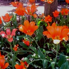 More huge Tulips on the Pearl St. Mall in Boulder, Colorado