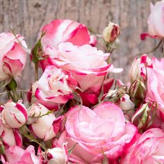 Stunning bouquets of pink and white bicolor roses on a fuss-free shrub that will endure the trials of a long, hot summer with an unwavering blooming zeal. An outstanding, disease-resistant, own-root, self-cleaning rose that thrives coast to coast in heat and humidity as well as dry, hot summers. A dynamic hedge, barrier, or accent plant. Cottage Gardens, Summer Garden, Hedges, Trials, Garden Plants, Shrubs, Bouquets, Beautiful Flowers, Coast