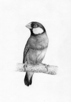 Java Finch - a drawing by YY Graphite pencil on paper, Dark Art Drawings, Graphite Drawings, Pencil Art Drawings, Realistic Drawings, Art Sketches, Bird Sketch, Tattoo Graphic, Cute Birds, Watercolor Bird