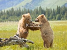 play fighting - Two large brown bear cubs play fight in a field