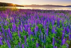 Sunrise on Lupine Meadow, Lake Tahoe Photo