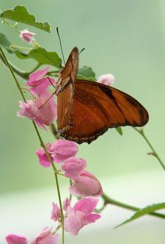 butterfly on sweet pea blooms
