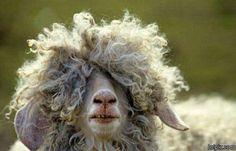 La oveja sabe que entre más FUNK más lana.